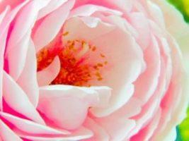 rose_04